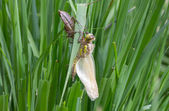 Common Clubtail Emerging From Its Larva — Stock Photo