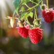 Raspberry — Stock fotografie #32884903