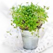 Garden Cress — Stock Photo #33056745