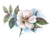 Watercolor -Dog Rose- — Stock Photo