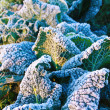 Frost crystals on cabbages — Stock Photo