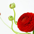 Ranunculus — Stock Photo #41265835