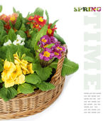 Primulas in Basket — Stock Photo