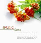 Röda tulpaner — Stockfoto
