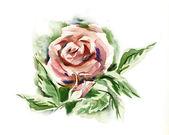 Watercolor -Rose- — Stock Photo