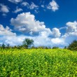 Rape Field — Stock Photo #41477293