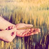 Ears of Rye in Hands — Stock Photo