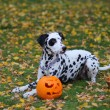 Dalmatian dog with Halloween pumpkin — Stock Photo