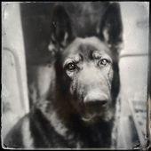 Germany dog on retro old photo — Stock Photo