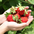 Hands filled with strawberries — Stock Photo