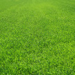 Green short grass — Stock Photo