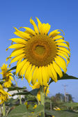 Close-up of sun flower against blue sky — Stock Photo