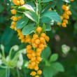 Golden dew drop (Duranta repens L.) — Stock Photo