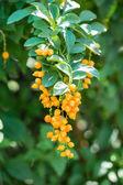 Golden dew drop (Duranta repens L.) — Stock Photo