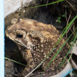 Toad hiding on the mud — Stock Photo