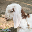 Stock Photo: Close-up Goat Laying down