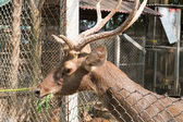 Deer eating vegetable in the zoo — Stock Photo