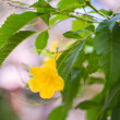 Stock Photo: Yellow trumpet flower