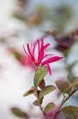 Close up Pink Chinese fringe flowers (Loropetalum chinense) — Stock Photo