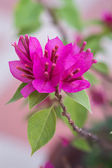 Close up Bunch of Purple Bougainvillea flower in the garden — Stock Photo