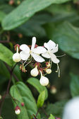 Close up white lovely flower(Clerodendrum wallichii, Clerodendrum nutans,Bridal veil) — Stock Photo