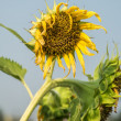 Dried sunflower in the field — Stock Photo