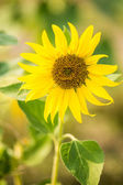 Sun flower field for background — Stock Photo