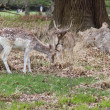 Stock Photo: Fallow deer in a park