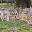 Fallow deer in a park — Stock Photo