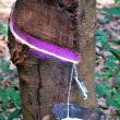 Tapping Rubber — Stockfoto