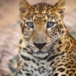 Leopard portrait — Stock Photo #39287951