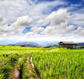 Green rice fields in the north of Thailand with blue sky — Stock Photo