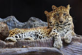 Two Jaguar sitting on the rock looking into the camera — Stockfoto