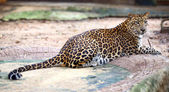 Jaguar sitting on the rock — Foto Stock