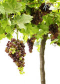 Purple red grapes with green leaves on the vine. fresh fruits — Photo