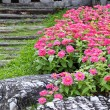 Stock Photo: Pink zinniflower in garden