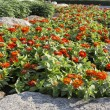 Stock Photo: Orange zinniflower in garden