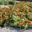 ストック写真: Orange zinniflower in garden