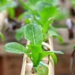 Vegetables hydroponics farm — Stock Photo #39300567
