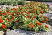 Orange zinnia flower in garden — Stock Photo
