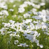 White cosmos in garden — Stock Photo
