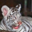 Close up baby white Tigerin zoo — Stock Photo