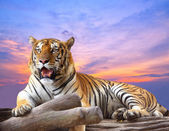 Tiger looking something on the rock with beautiful sky at sunset — Stock Photo