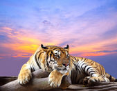 Tiger looking something on the rock with beautiful sky at sunset — Zdjęcie stockowe