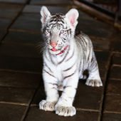 Baby white tiger looking in zoo — Zdjęcie stockowe
