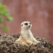 Stock Photo: Meerkat sit
