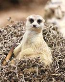 Meerkat sit on tree dry looking camera — Stock Photo