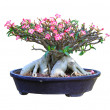 Desert Rose bloming in a flowerpot with clipping path — Stock Photo