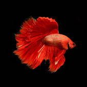 Red siamese fighting fish, betta fish isolated on black — Stock Photo