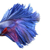 Close-up on a fish body, blue Siamese fighting fish - Betta Sple — Stock Photo